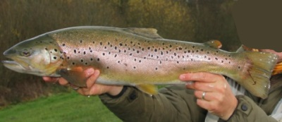 So called UK grip that can kill trout