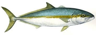 Yellowtail Kingfish (Seriola lalandi) ID