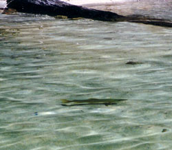 Trout in shallows