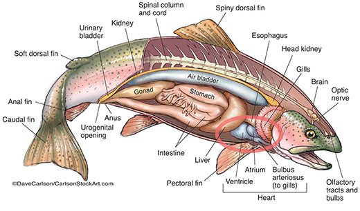 Anatomical drawing of trout