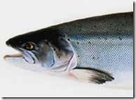 woodsalmon